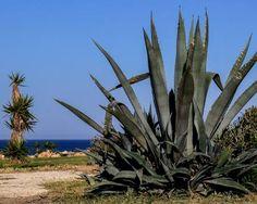 Aloe vera növény – igazi csodanövényként tartják számon, melynek tartása nem igényel nagy odafigyelést. Neked van otthon? Aloe Vera Vitamin, Vitamins, Plants, Plant, Vitamin D, Planting, Planets