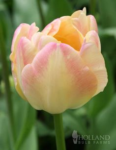 Double Tulips Sale: Angelique Tulip Upstar from hollandbulbfarms.com