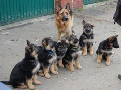 German Sheppard puppy love