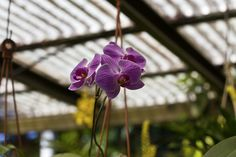 Hot pink / purple orchid