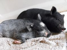 Things to know before you bring potbellied pigs into your urban homestead