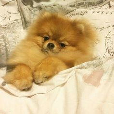 Pomeranian dogs and puppies #ad