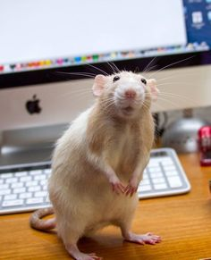 Marty is loving life at his new home with his human. Marty the Rat Will Change How You Feel About Pet Rats. Not all rats are subway rats or rodents. Animals And Pets, Baby Animals, Funny Animals, Cute Animals, Strange Animals, Rats Mignon, Animal Pictures, Cute Pictures, Beautiful Pictures