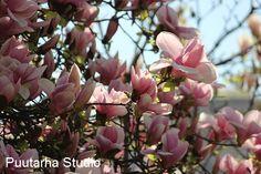 Magnoliat Milanon keväässä @Asuntomessublogit