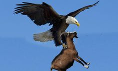 Eagle hunting Mountain Goat - King of the Sky