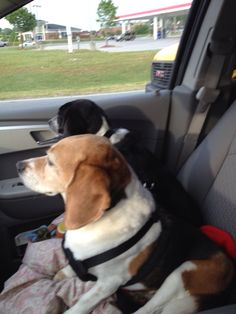 Double beagle shotgun