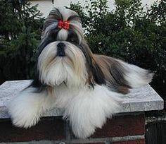 El Shih Tzu es una raza de perro originaria de Tibet. Los chinos los criaban y arreglaban para que se parecieran a los leones, de acuerdo a la cultura china,8 siendo muy apreciados como perros guardianes