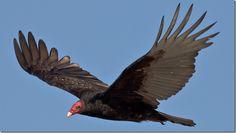 A partir de hoy millones de aves de rapiña volarán sobre Panamá http://www.inmigrantesenpanama.com/2015/10/01/a-partir-de-hoy-millones-de-aves-de-rapina-volaran-sobre-panama/