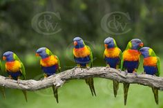 row of birds on a branch | OWB0073 Six in a row Rainbow Lorrikeets