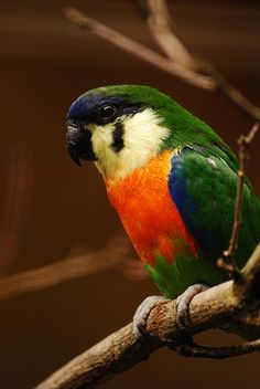 Orange-breasted fig parrot (Cyclopsitta gulielmitertii)  | by Delacouri