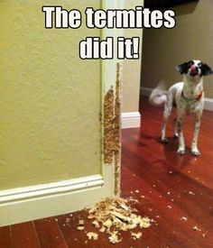 Dog chews up wall and blames it on the termites. #funny #termites #dogs