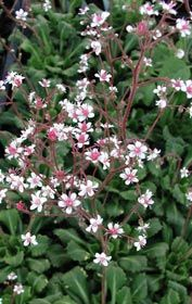 Saxifraga x urbium - Porzellanblümchen