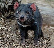 Le diable de Tasmanie[1] ou sarcophile (littéralement : qui aime les cadavres) (Sarcophilus harrisii) est une espèce de marsupial ne vivant plus que sur l'île de Tasmanie en Australie.