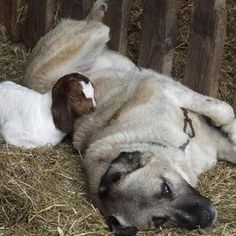 Understanding the Anatolian Shepherd Dog and His Job: A Historic Perspective Helps
