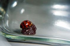 Lady bugs love raisins. Attract them to your aphid problem by using a raisin. | protractedgarden