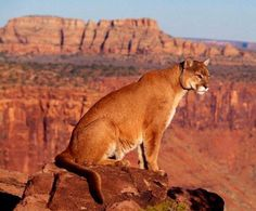Mountain Lion Cougar Panther or Puma DesertUSA Big Cats, Cool Cats, Cats And Kittens, Beautiful Cats, Animals Beautiful, Animal Espiritual, Animals And Pets, Cute Animals, Gato Grande