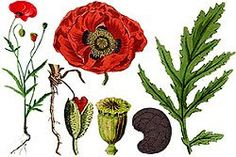 https://flic.kr/p/tdHc6S | poppy herb | Wild Poppy Wild Poppy is a herbaceous plant, grows on the roadside or in fields of grain. It is known for its therapeutic properties since ancient times. Poppy seeds have been used since ancient Greece to relieve pain and cigarettes in China with opium preparation. In medical purpose, the plant was used to extract morphine, are necessary terminal diseases. For therapeutic purposes are picked petals (called paparoane). Poppies Garden Poppies Garden is a…