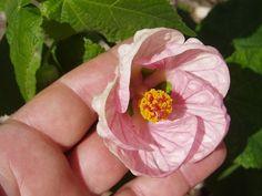 Abutilon hyb. 'Satin Pink Belle'.jpg