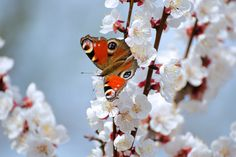 Apricot blossoms with peacock butterfly. - Apricot blossoms with peacock butterfly in orchard. Apricot Blossom, Peacock Butterfly, Blossoms, Flowers, Florals