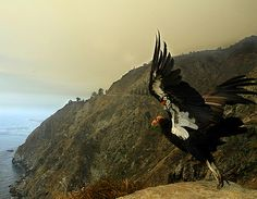 See a California Condor in the wild California Condor, California Dreamin', All Continents, California Wildfires, Big Sur, Bald Eagle, National Parks, Beautiful Pictures, Wildlife
