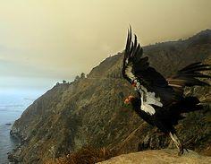 California Condor - endangered