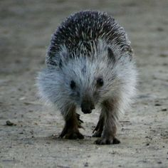 The northern white-breasted hedgehog inhabits farmland, parks and gardens in rural and urban areas, scrubby habitats at the edge of forests, and shrubby vegetation
