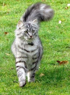 A Maine Coon is a large breed of cat, not just referring to its voluptuous fur but its body mass, too. The Maine Coon lifespan is hardly any. Cute Cats And Kittens, Cool Cats, Kittens Cutest, I Love Cats, Funny Kittens, Pretty Cats, Beautiful Cats, Animals Beautiful, Cute Animals