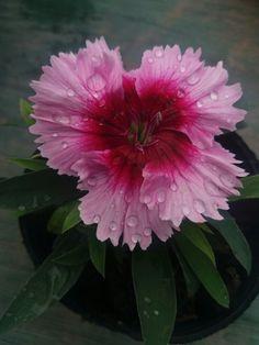 😍💕 clavelina