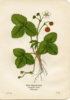 Botanical illustration of a wild strawberry (from 'Wayside and Woodland Blossoms' by Edward Step, 1909)