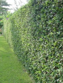Creeping fig to cover the fence? Grows quickly and could be a big cost saver if you don't mind seeing the fence for a while.