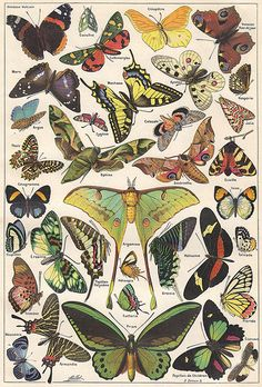 Papillons (butterflies) ~ a plate from the 2-volume Larousse Universel, a French illustrated encyclopedia published in 1922 by Éditions Larousse and edited by Claude Augé from the original work of Pierre Larousse. Photo via Ωméga@ Flickr