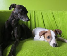Pink and Peach sitting Pretty :) Italian Greyhound, Colourful Outfits, Peach, Greyhounds, Madness, Pretty, Dogs, Pink, Animals