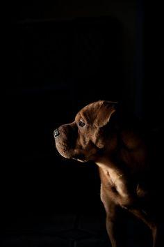 a little chocolate #dog introspection. #beautiful #cutedogs