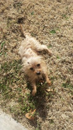 Meet Chopsticks a Petfinder adoptable Yorkshire Terrier Yorkie Dog   Tulsa, OK   Chopsticks is a male, 6.6lb, apricot yorkie mix. Chopsticks' estimated date of birth is September...