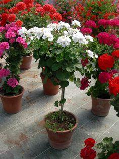 Géranium zonale cultivé sur tige, photo Alain Delavie  http://www.pariscotejardin.fr/2012/07/un-geranium-pelargonium-mais-sur-tige/