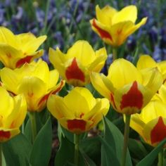Buy your flower bulbs at Queen Flowerbulbs! The best quality flower bulbs from Holland. The best flower bulbs for the best prices. Bulbous Plants, Dutch Tulip, Tulip Bulbs, Most Beautiful Flowers, Bulb Flowers, Outdoor Plants, Daffodils, Spring Flowers, Succulents