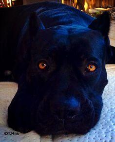 Karma Di Casa Pretorian black cane corso <3