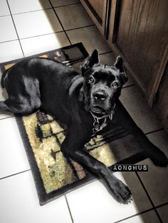 He is so special! Cane Corso, Italian Mastiff 6 months old! Majestic Guardin