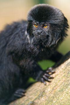 Goeldis marmoset