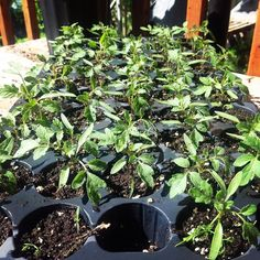 TOMATOES! This tray is very nicely grown and the seedlings are ready to go in their final location!  Yes you've read that right I don't repot and they go in at this size.  Tomatoes grow QUICKY at this time of year and those will have caught up with everyone else's in no time!  And i didn't have to repot harden plants etc!  this is how you grow LOTS of seedlings in a very limited space! #verticalfarming #urbanfarming #organicfarming #food #foodporn #agriculture #urbangardenersrep…