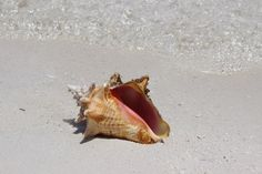 Conch on our shelf