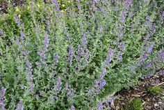 Last van muggen? Plant deze planten tegen muggen en ze vliegen gillend weg.