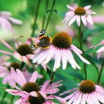 Coneflower  Echinacea selections    Light:      Sun  Plant Height:      2-4 feet tall  Zones:      3-9