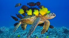 hawaii sea turtle images   Green sea turtle being cleaned by reef fish off the Kona Coast, Big ...