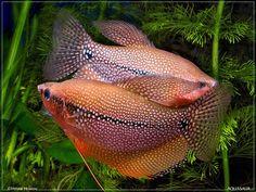Trichogaster leeri kombat by Hristo Hristov Tropical Freshwater Fish, Freshwater Aquarium Fish, Tropical Fish, Saltwater Tank, Saltwater Fishing, Aquariums, Aquarium Design, Aquarium Ideas, Cool Fish