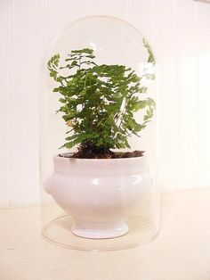 Potted fern in cloche