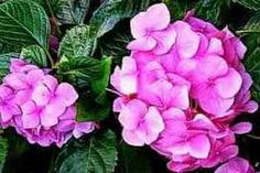 Learn how to propagate Hydrangeas from cuttings, layering and root division methods by easy-to-follow instructions.