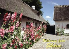 Traditional houses typical for Skåne Province, South Sweden from a postcard