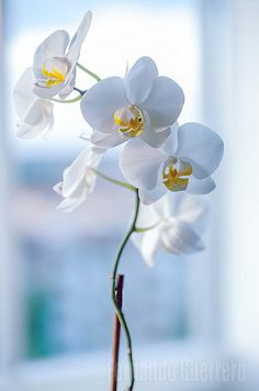Orquidea - New Ideas My Flower, Pretty Flowers, Flower Pots, White Orchids, White Flowers, Phalaenopsis Orchid, Flower Wallpaper, Beautiful Roses, Flower Decorations