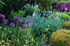 alliums and irises